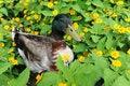Free Mallard Duck In Field Of Flowers Stock Images - 26335534