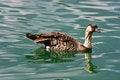 Free Hawaiian Nene Goose Stock Photos - 26335813