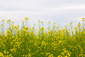Free Oilseed Rape Field Stock Photo - 26338780