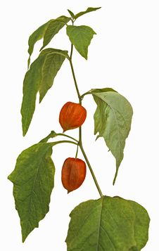 Free Physalis Fruit Stock Images - 26332884