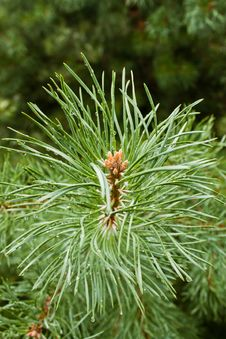 Free Pine Needle Stock Images - 26333984