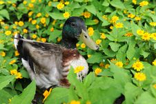 Free Mallard Duck In Field Of Flowers Stock Images - 26335534