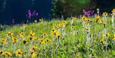 Free Wild Yellow Flowers In Bright Sun Light Stock Photo - 26338150