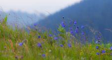 Free Wild Carpathian Bellflower Campanula Carpatica Stock Photos - 26338173