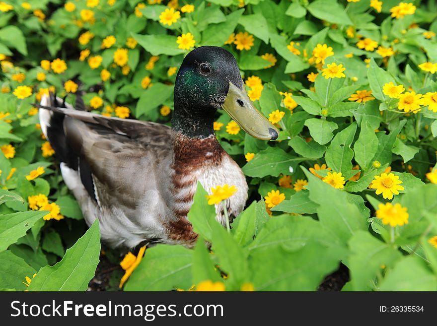 Mallard Duck in Field of Flowers