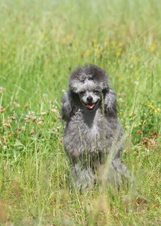 Toy Poodle On Green Grass Royalty Free Stock Images