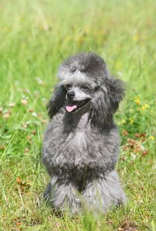 Toy Poodle On Green Grass. Stock Photo