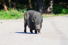 Free Black Pig On Village Yard Royalty Free Stock Image - 26341356