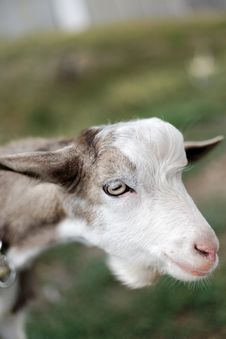 Free Portrait Of A Goat Stock Photography - 26342252