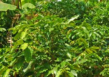 Free Coffee Plants Stock Images - 26348744