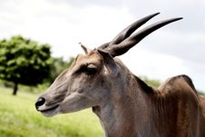 Free Nothing Common About This Common Eland Royalty Free Stock Photos - 26349518
