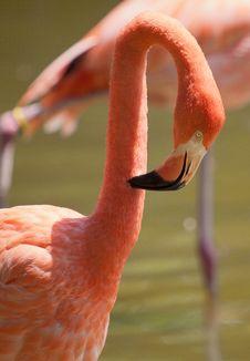 Flamingo Preening Stock Photography