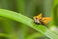 Free Skipper Butterfly Stock Photo - 26350440
