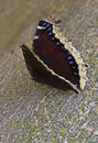 Free Mourning Cloak Butterfly Royalty Free Stock Image - 26350666