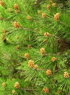 Free Green Pine Needles With Young Kidneys Royalty Free Stock Photography - 26350147