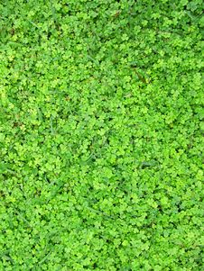 Free Carpet From Green Leaves Of A Shamrock Stock Photo - 26350180