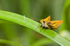 Free Skipper Butterfly Stock Photo - 26350440