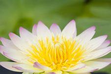 Free Closeup Of Lotus Stock Image - 26350671