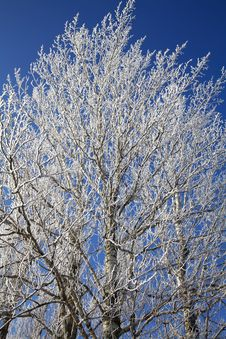Free Frozen Tree Royalty Free Stock Photo - 26359325
