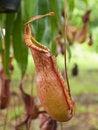Free Tropical Pitcher Plants Stock Photos - 26367933