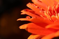 Free Orange Gerbera And Waterdrops Stock Photo - 26364110