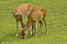Mother Deer And Fawn Royalty Free Stock Photography