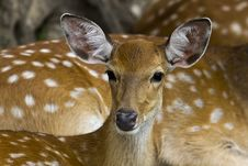 Free Baby Deer Stock Photography - 26367182