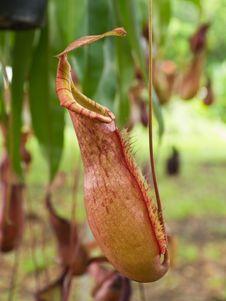 Tropical Pitcher Plants Stock Photos