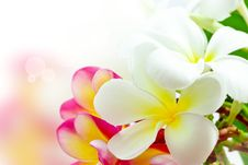 Free Frangipani Flower Colors Stock Image - 26369751
