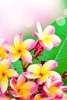 Free Frangipani Flower Summer Stock Image - 26369761