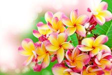 Free Frangipani Flower Background Royalty Free Stock Image - 26369766