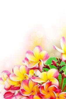 Free Frangipani Flowers Stock Images - 26369774