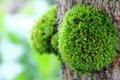 Free Green Moss On The Tree Stock Photo - 26371810