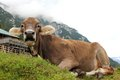 Free An Austrian Cow Relaxing On A Mountain Royalty Free Stock Photography - 26376917