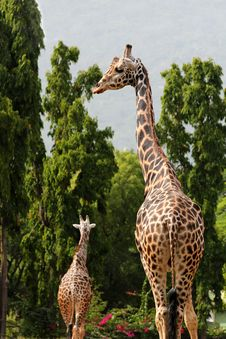 Free Two African Origin Giraffe In A Forest Royalty Free Stock Photography - 26370417