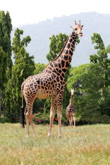 Free Two African Origin Giraffe Together In A Jungle Stock Photos - 26370423