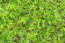 Free Dried And Fresh Seaweed As Background Stock Image - 26370961