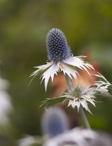 Free Sea Holly Macro Royalty Free Stock Photos - 26376368
