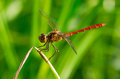 Free Red Dragonfly Royalty Free Stock Images - 26384229