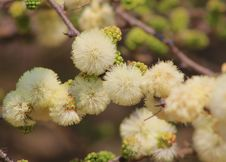 Free Flowers, Wild, Blackthorn -African Spring Blossoms Royalty Free Stock Photos - 26380968