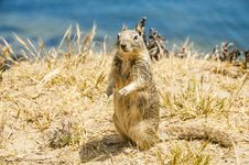 Free California Ground Squirrel Stock Image - 26383851