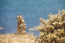Free California Ground Squirrel Stock Photography - 26383852