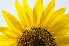 Free Sunflower Royalty Free Stock Photography - 26384237