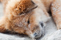 Free Elo Puppy Sleeps At The Beach Royalty Free Stock Photos - 26399978