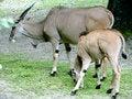 Free Antelope 2 Royalty Free Stock Photo - 2640265