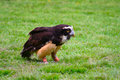 Free Spectacled Owl 7 Stock Image - 2643031
