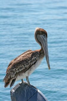 Free Pelican On Engine Royalty Free Stock Photos - 2640658