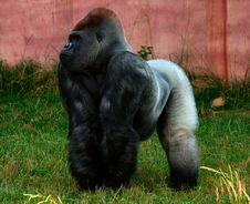 Free Male Gorilla Stock Photos - 2641133