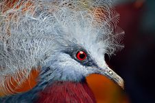 Free Crowned Pidgeon Stock Photo - 2641170