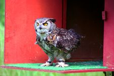 Free Great Horned Owl 2 Stock Photo - 2642760